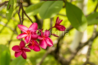 Pink violet tropical flowers on a tree