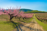 Blooming peach garden - beautiful nature background