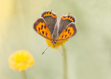 Small Copper butterfly  - Spain.