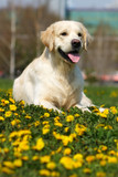 happy dog breed Golden Retriever