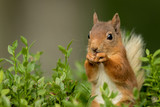 Close up of a Red Squirrel sitting in green foliage eating a nut with a green background.