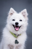 Japanese white spitz on gray background