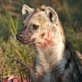 Hyena bloodied with kill afraid a lion may return