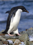 Adelie penguin walking on the rocks