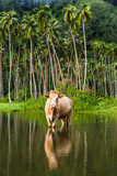 Cow grazing in French Polynesia