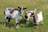 Goat and kids on the pasture