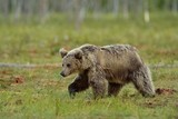 Brown bear walking in the bog