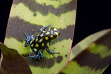 Amazon poison arrow frog