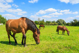 Horses grazing on green pasture near Krakow city, Poland