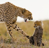 Cheetah with cub. Kenya. Funny pose.