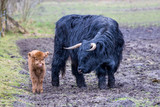 Black mother scottish highlander cow near newborn brown calf