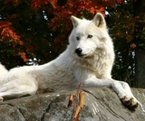 arctic wolf  laying on a rock