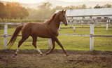 Horse in a stable running and joying at sunset