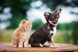 brown chihuahua puppy with a kitten