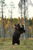 bear standing in the bog at sunset