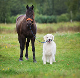 golden retriever dog holding a horse