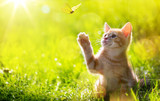 art Young cat / kitten hunting a butterfly with Back Lit