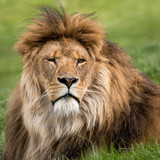 Head shot of male lion lying in grass.