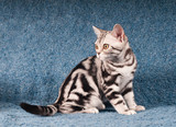 American shorthared kitten sitting on sofa