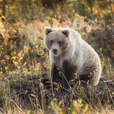 Grizzly bear in autumn colors at Alaska