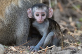 Baby Eastern Vervet monkey (Chlorocebus pygerythrus) staring at