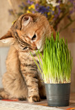 Cat eats green grass