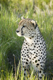 A Cheetah sits in deep green grass of Lewa Wildlife Conservancy, North Kenya, Africa