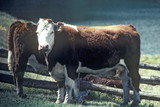 Hereford cow in field