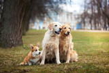 Dog breed Welsh Corgi Pembroke and Golden retriever