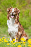 Australian shepherd dog sitting on the lawn with dandelions