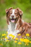 Australian shepherd dog on the lawn with dandelions