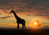 Giraffe during african sunset