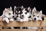 five husky pups