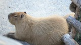 Capybara lies on the earth
