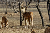 A male Red Spotted Deer looks over his shoulder in Ranthambore.