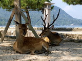 Deers in Miyajima gate