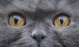 Eyes of a persian cat macro