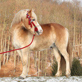 Amazing haflinger in winter