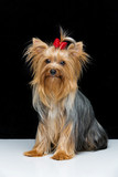 Beautiful yorkshire terrier in fancy hat