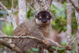 Brown lemur on tree (Madagascar)
