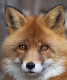 Face portrait of a red fox male, vulpes vulpes. The head a beautiful forest wild beast. Smart look of a dodgy vulpes, skilled raptor and elegant animal. Cute and cuddly creature.