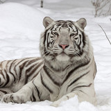 A calm white bengal tiger, lying on fresh snow. The most beautiful animal and very dangerous beast of the world. This severe raptor is a pearl of the wildlife. Animal face portrait.