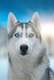 dog siberian hasky on winter background