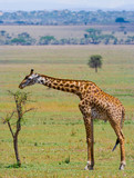 Giraffe in savanna. Kenya. Tanzania. East Africa. An excellent illustration.