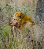 Big male lion in the savanna. National Park. Kenya. Tanzania. Maasai Mara. Serengeti. An excellent illustration.