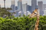 SYDNEY, AUSTRALIA - DECEMBER 27, 2015. Giraffes at Taronga Zoo w
