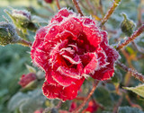 Beautiful red rose in the frosty morning in the garden