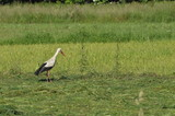 The white stork looking for food in the meadow. Long red legs