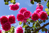 pink roses plant over blue sky