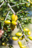 Fresh fruits of Argan tree on the branch